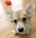 Belvedere the corgi!